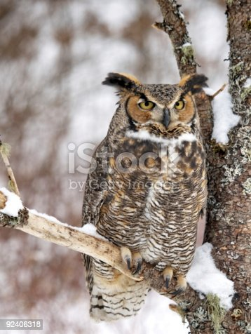 Full Body Great Horned Owl Stock Photo Amp More Pictures Of