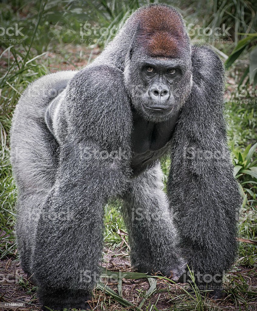 Full body image of a Silver Back Gorilla stock photo