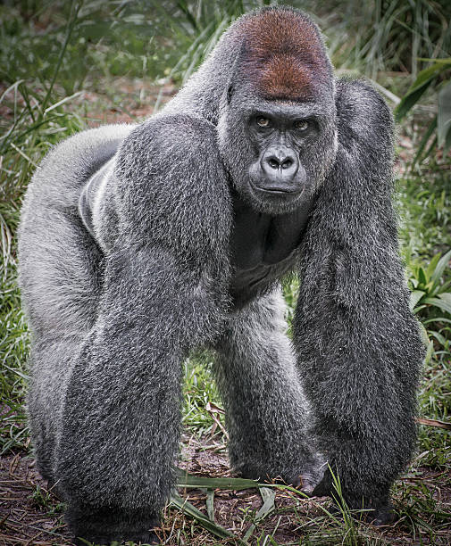full body image of a silver back gorilla - gorilla stock photos and pictures