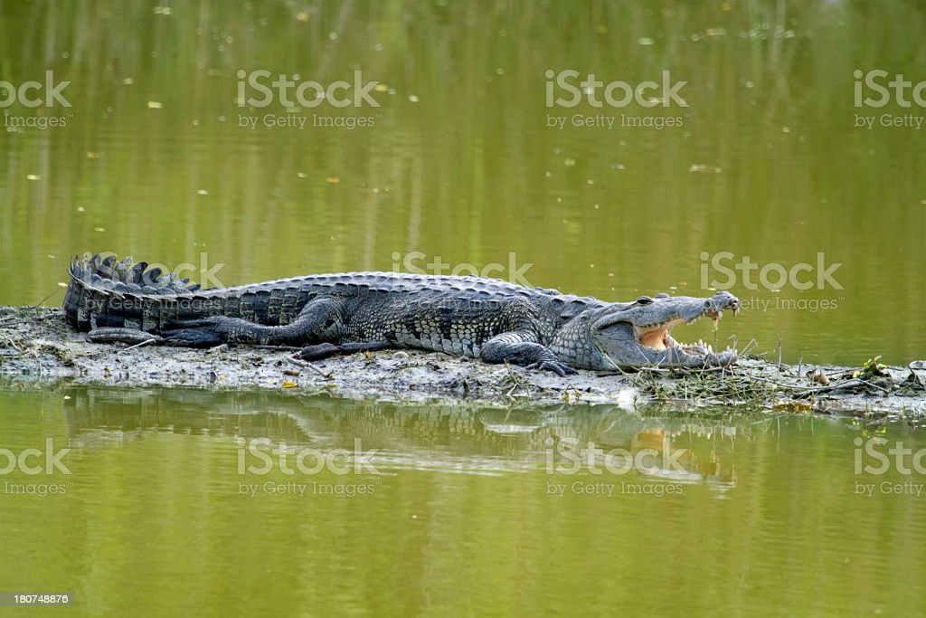 Full Body Morelet's Crocodile with open mouth stock photo