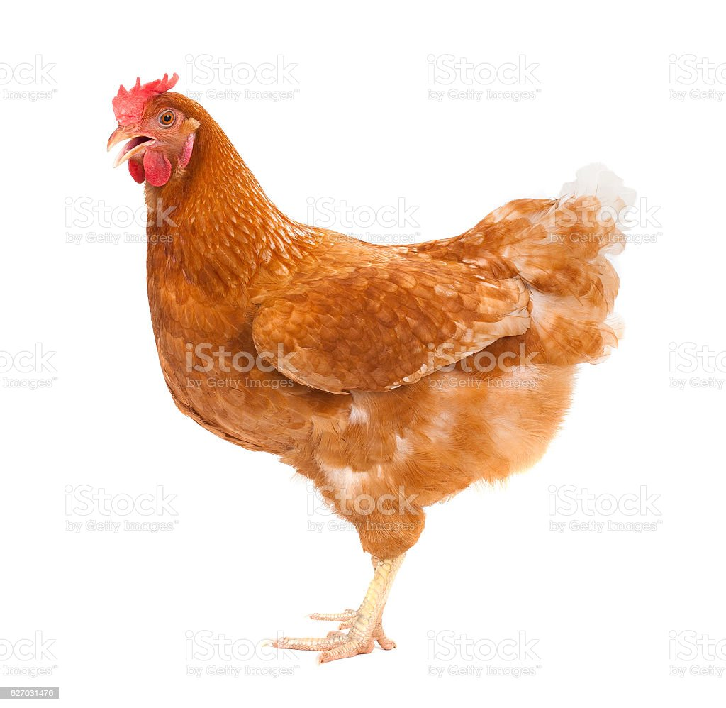 full body of brown chicken ,hen standing isolated white backgrou stock photo