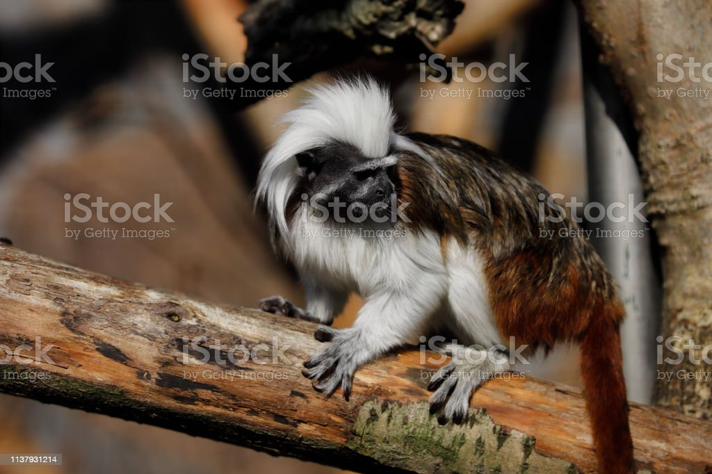 Full body of Cotton-top tamarin a small New World monkey. Photography...