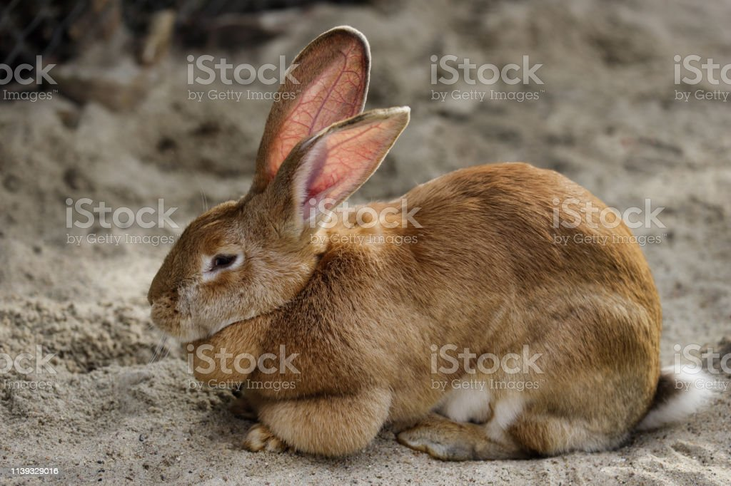 Full Body Of Domestic Male Brown Flemish Giant Rabbit Stock