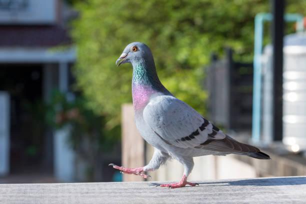 Ganzkörper von Brieftauben Bird vorwärts gehen auf Haus Dach – Foto