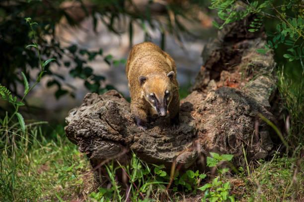 Voller Körper von Nasua Waschbär auf dem Baumstumpf – Foto
