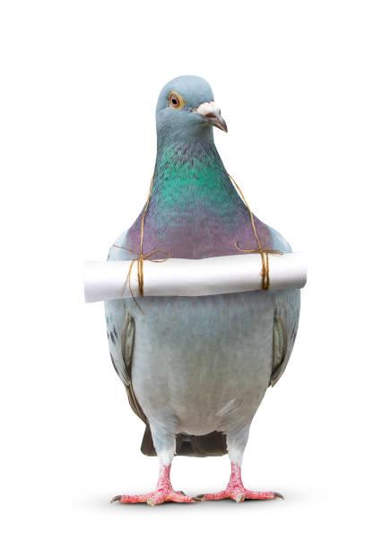 ganzkörper von taube vogel und papier schreiben nachricht an brust für kommunikation thema hängen - worte stock-fotos und bilder