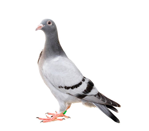 Ganzkörper von Taube Vogel isolieren, weißen Hintergrund – Foto