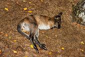 Full body of relax lying  joey young kangaroo on the meadow