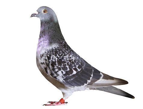 full body of speed racing pigeon bird isolate white background
