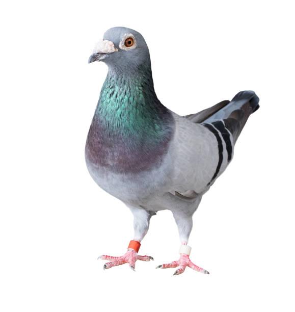 Ganzkörper von Speed-Rennen Taube Vogel weißen Hintergrund isoliert – Foto