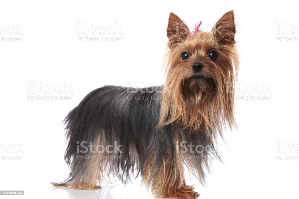 かわいいヨークシャー テリア子犬犬の全身画像 カットアウトの