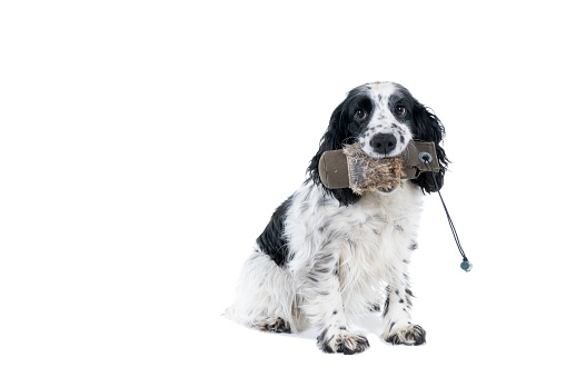 Full body portrait of an english cocker spaniel holding a hunting dummy looking at the camera on a white background