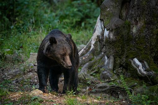 A full-body shot of an Eurasian Brown Bear (ursus arctos arctos), standing on a green clearing next in the forest.  Location: Hargita Mountains, Carpathians, Transylvania, Romania.