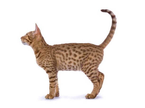 lato di tiro per tutto il corpo da gattino ocicat isolato su sfondo bianco - ocicat foto e immagini stock