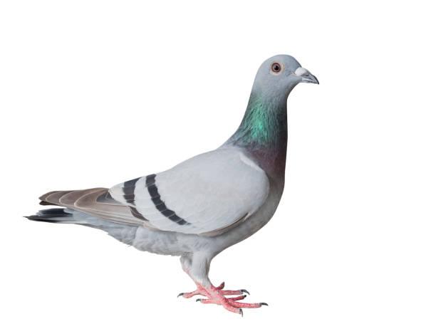 Ganzkörper-Seitenansicht der Brieftauben Bird isoliert weißen Hintergrund – Foto