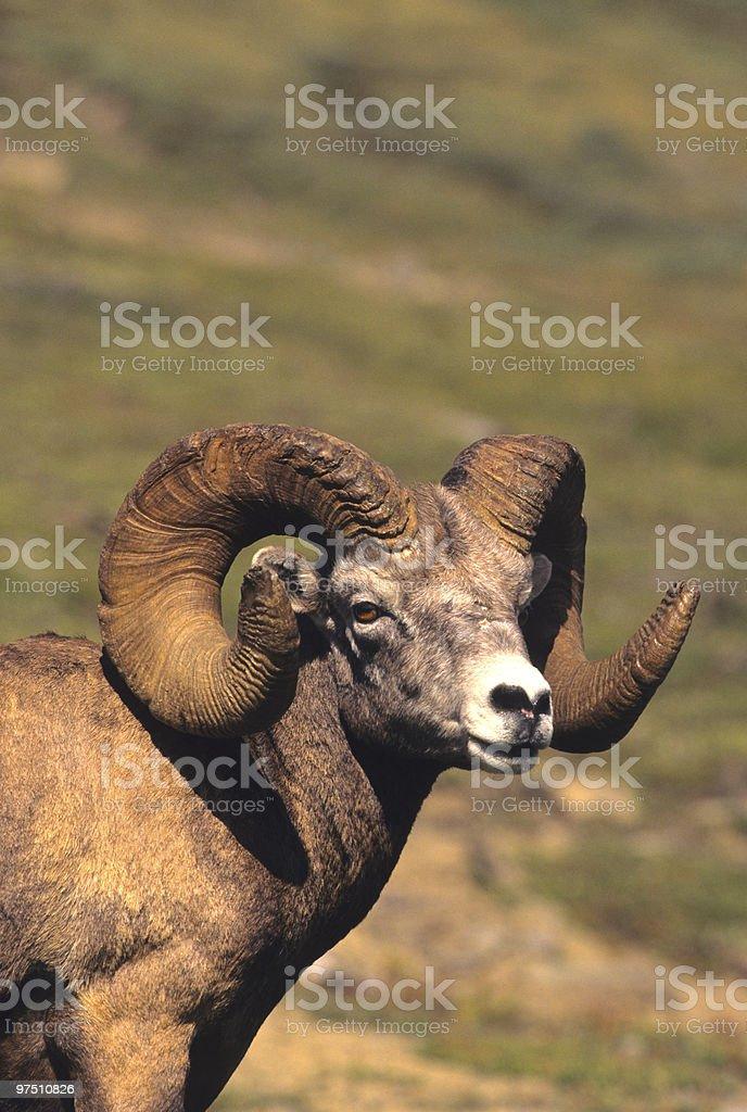 Full Curl Bighorn Ram royalty-free stock photo