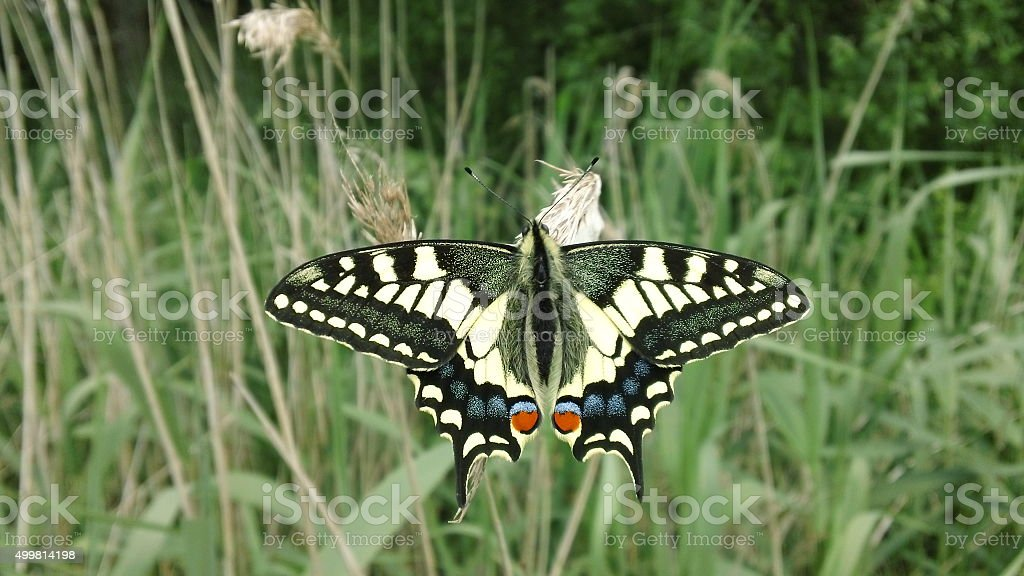 Full dorsal view, Swallowtail Butterfly (Papilio machaon) stock photo