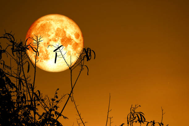 Full Fish Moon back on silhouette dry branch tree on night sky stock photo