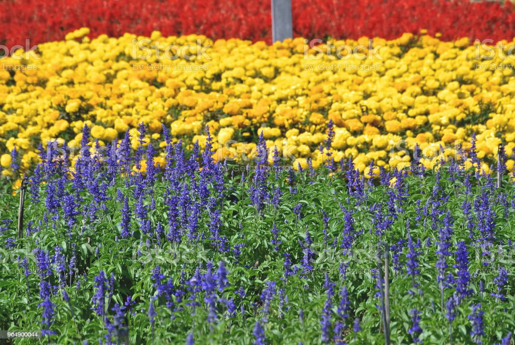Full Frame Background of Colorful Flower Field royalty-free stock photo