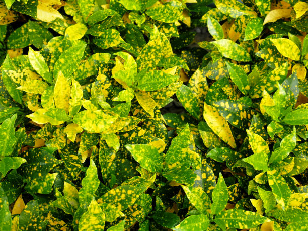 Best Croton Plant Stock Photos, Pictures & Royalty-Free Images - iStock