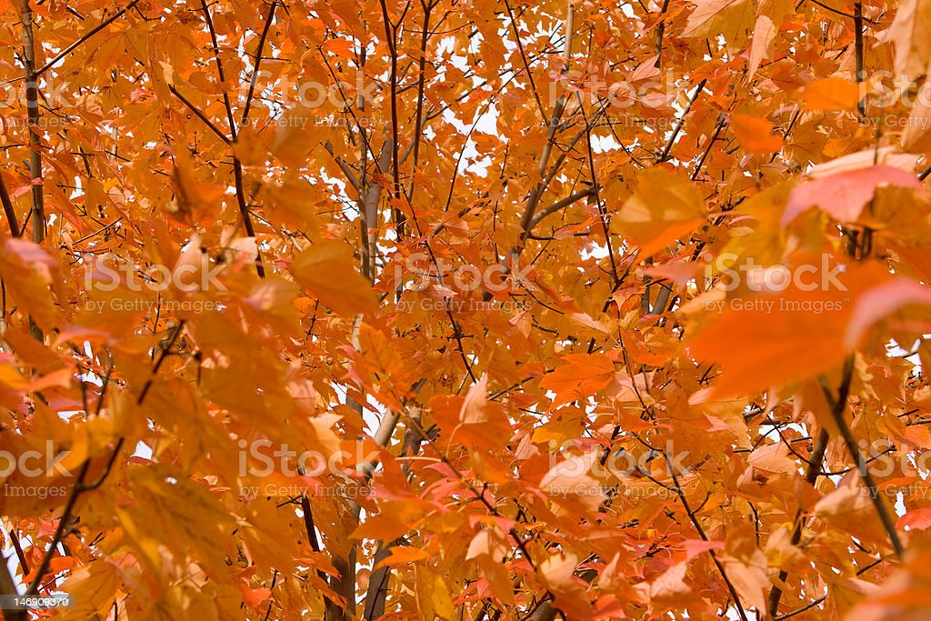 Full Frame Field of Orange Autumn Maple Leaves on Trees royalty-free stock photo