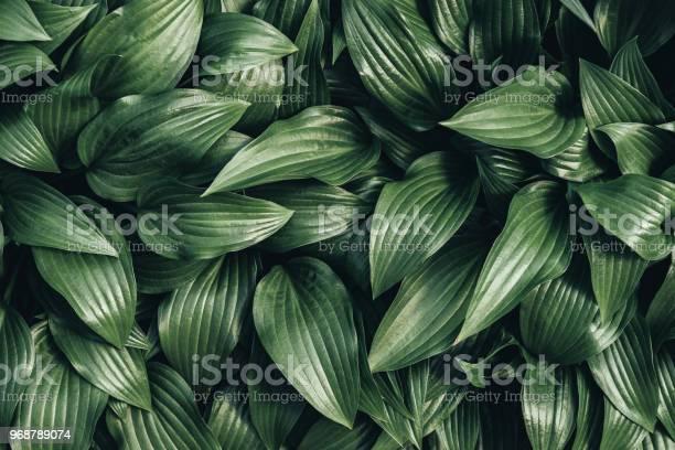 Photo of full frame image of hosta leaves background