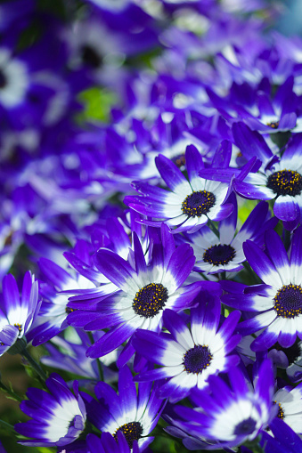 Stock photo showing the colourful blue / purple daisy flowers on bushy cineraria plants (Pericallis x hybrida), which belong to the 'aster' family. They can be used as attractive summer bedding in gardens, although many people prefer to grow them in flower pots, as specimen house plants on a sunny windowsill.