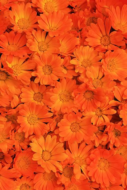 full frame von calendula Blumen – Foto