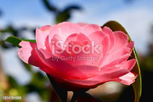 Full frame of pink camellia japonica flower with  sunshine on blue sky  bokeh background.