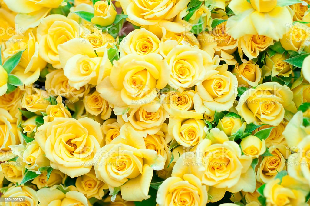 Full frame of yellow rose stock photo