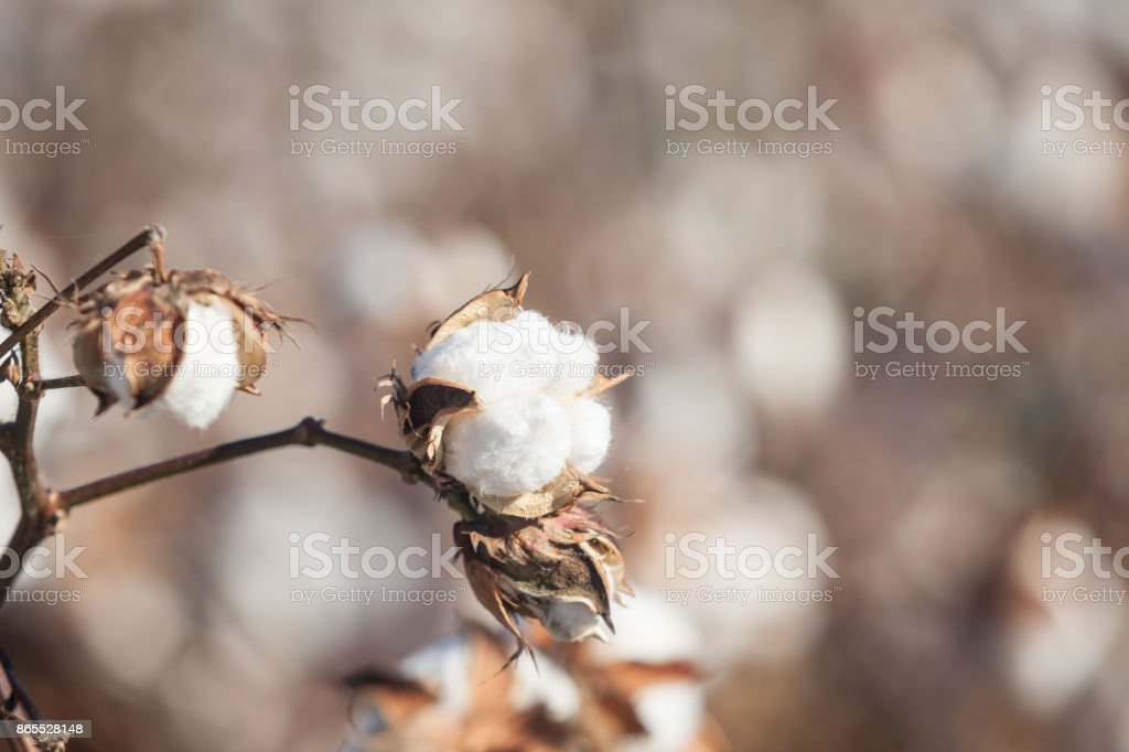 Full Frame Photo Of Cotton Field stock photo