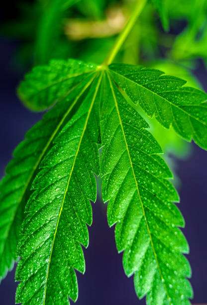 Full frame shot of Hemp plant leaf with water droplets against dark background stock photo