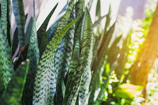 full frame shot of houseplant sansevieria - The Sanseveria aka Snake Plant or Mother In Law Tongue