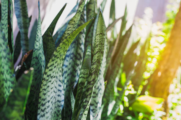 full frame shot of houseplant sansevieria - The Sanseveria aka Snake Plant or Mother In Law Tongue stock photo