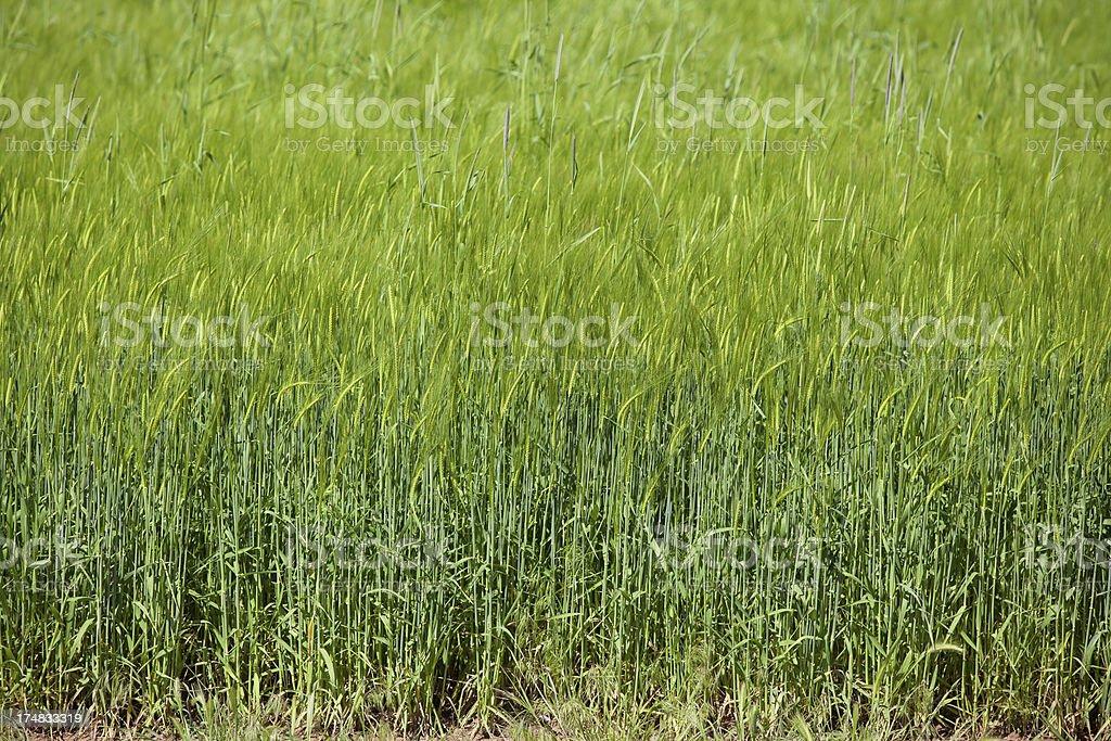 Full frame wheat field royalty-free stock photo