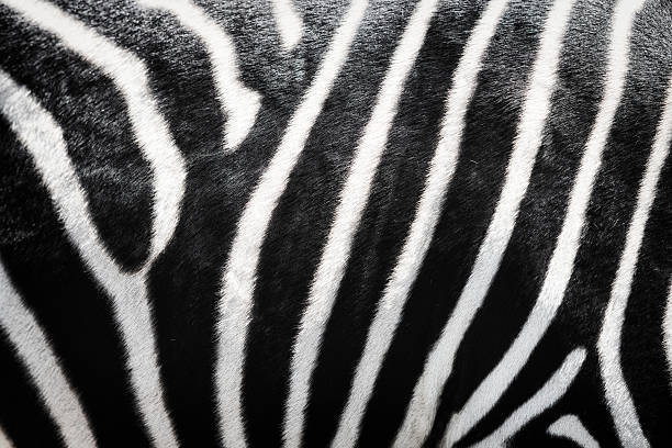 moldura completa de pele de zebra impressão casaco de pele - padrões zebra imagens e fotografias de stock