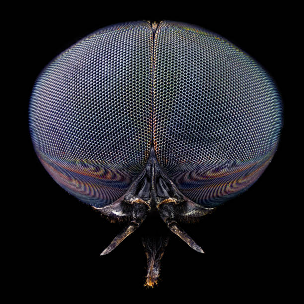 Full frontal portrait of a black horse fly stock photo