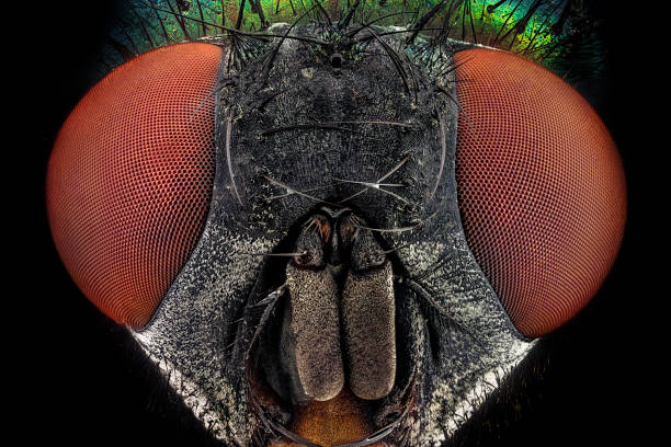 Full frontal portrait of a common green bottle fly stock photo