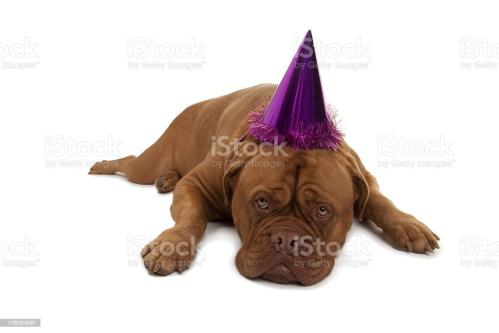 Full Grown French Mastiff Dog Looking Sad in Party hat royalty-free stock photo
