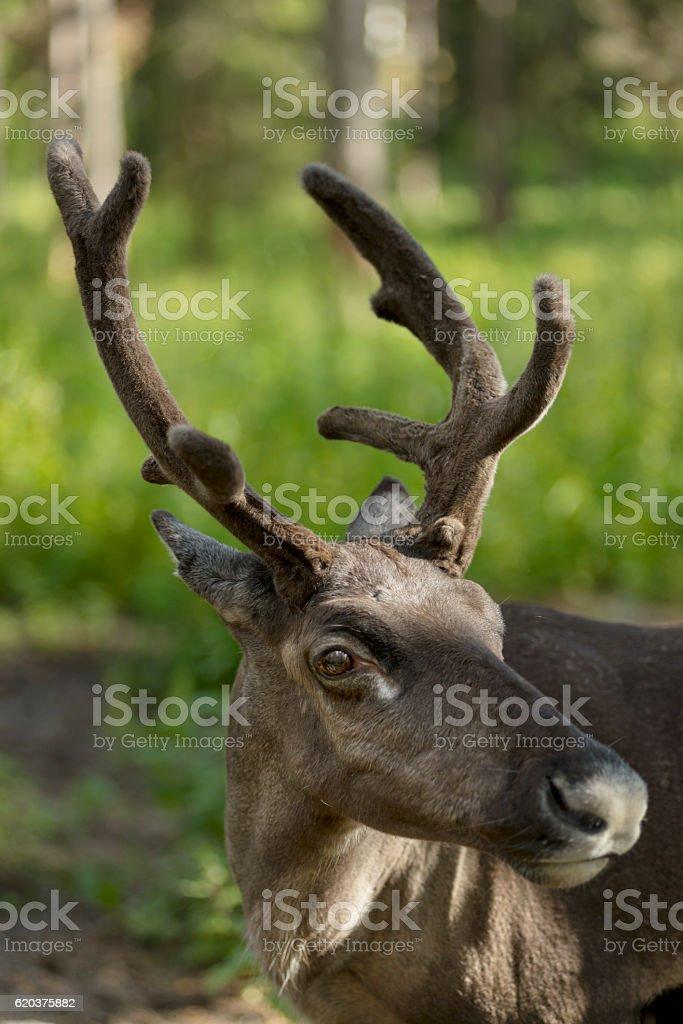 full grown shaggy Reindeer with peeling shedding foto de stock royalty-free