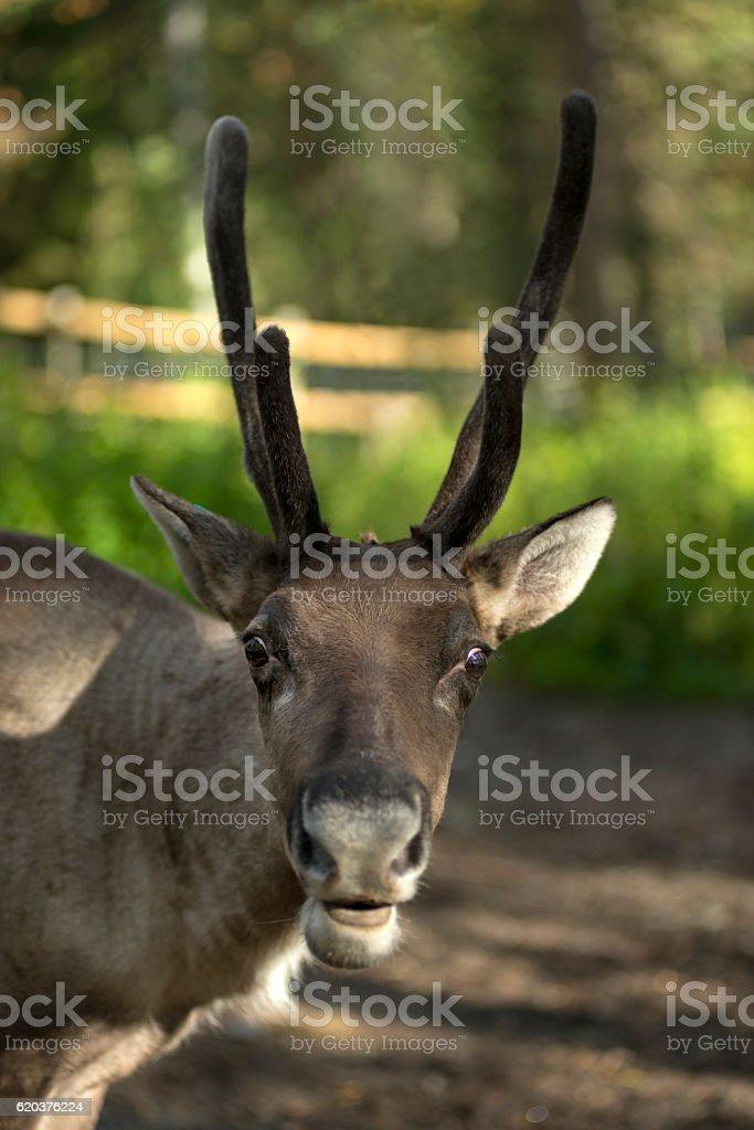 full grown shaggy Reindeer with peeling shedding zbiór zdjęć royalty-free