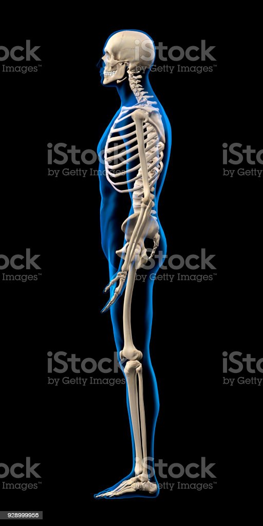 Full Human Skeleton Side View Stock Photo More Pictures Of Anatomy