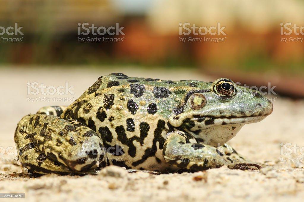 full length image of colorful marsh frog stock photo