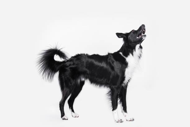 Full length portrait of a cheerful purebred border collie dog looking picture id1286392949?b=1&k=6&m=1286392949&s=612x612&w=0&h=w6iuekha5dla1heftslex5tu8jdqbtuuitnwt3yldws=