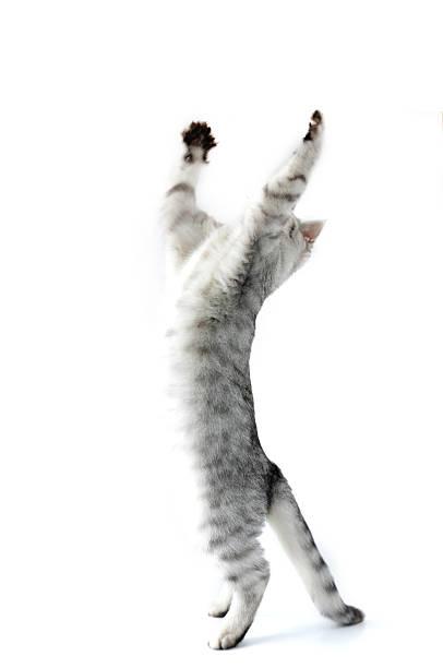 Full length portrait of jumping silver kitten cat picture id142253928?b=1&k=6&m=142253928&s=612x612&w=0&h=6yz9qqswgtdyk1psapbtbmhr5olffmsit2eykby4neu=