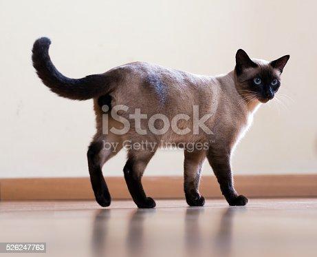 full length shot of Standing young  siamese cat on wooden floor indoor