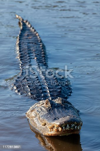 Full length view of a large  alligator in a Florida pond staring directly into the camera with its teeth clearly visible