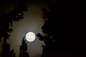 The Full Moon Shines Brightly between the dark spruce trees.