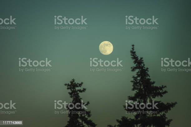 Photo of Full moon over the tops of pine trees. Beautiful nightly witching landscape