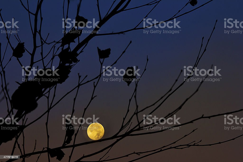 Full Moon through Tree Branches stock photo